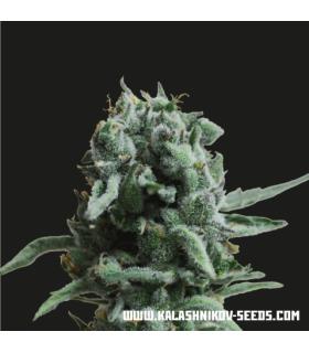 420 Genetics Blueberry Cbd (1Ud)